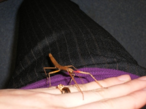 Common Stick Insect, which, when agitated, sways and bobs like a twig in the breeze.