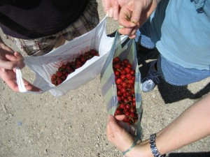 Fresh cherries grow all over Bulgaria.