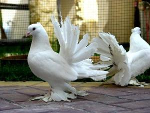 Darwin used fancy pigeons as an example of selection by humans.